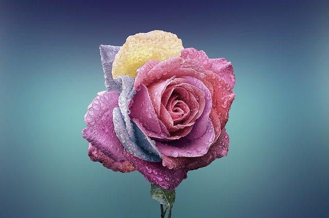 vícebarevná růže